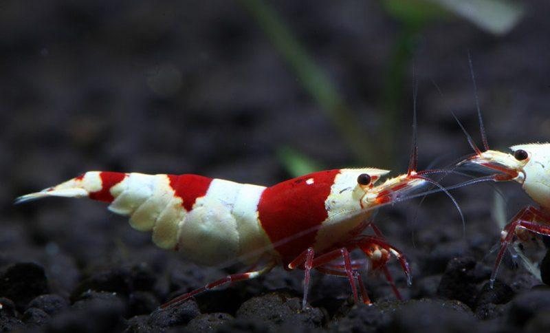 水晶虾——《碧水风和》
